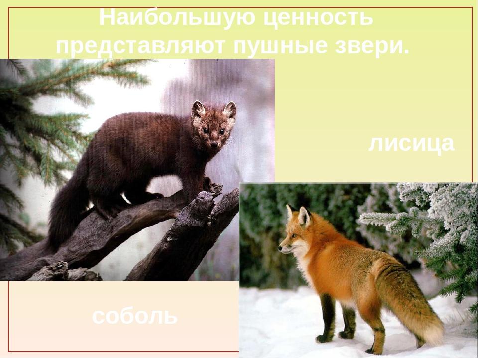 Наибольшую ценность представляют пушные звери. соболь лисица