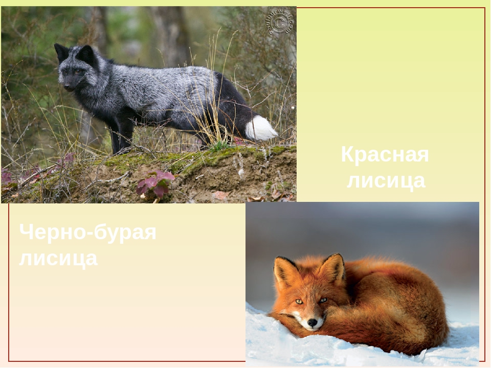 Черно-бурая лисица Красная лисица