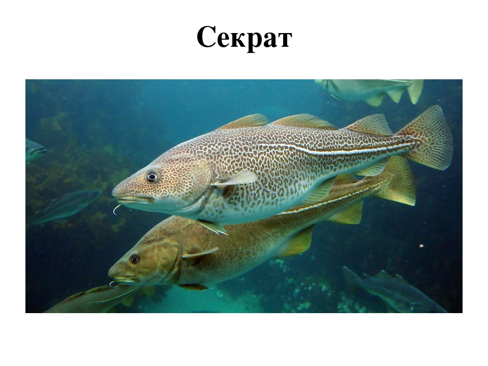 Секрат