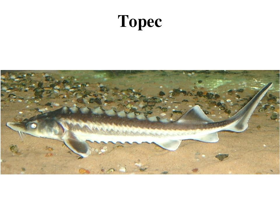 Торес