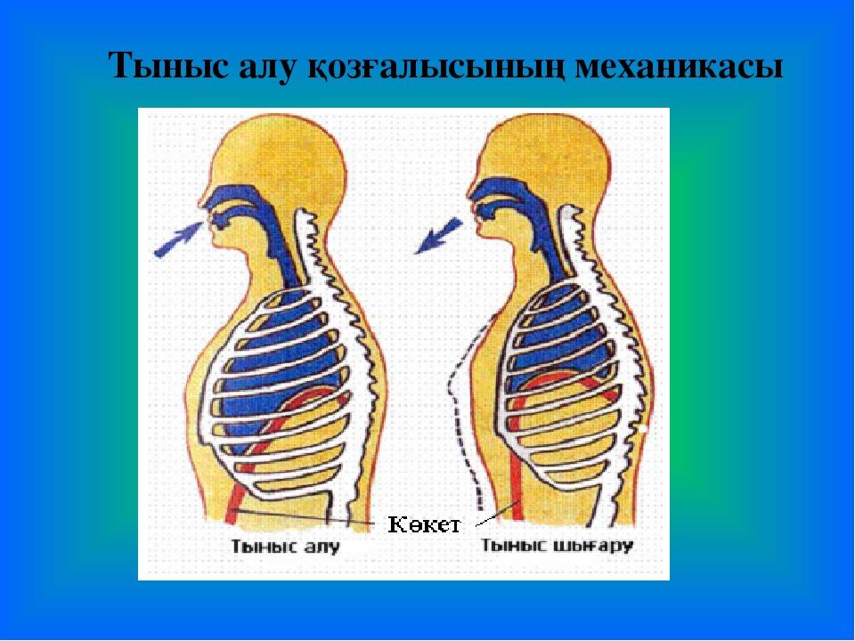 Тыныс алу қозғалысының механикасы