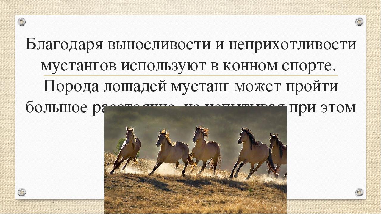 Благодаря выносливости и неприхотливости мустангов используют в конном спорте...