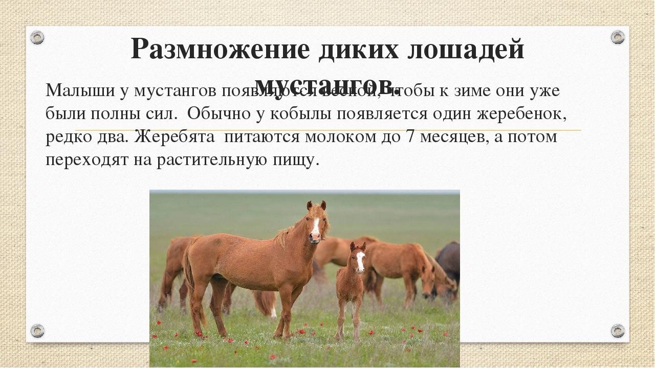 Размножение диких лошадей мустангов. Малыши у мустангов появляются весной, чт...