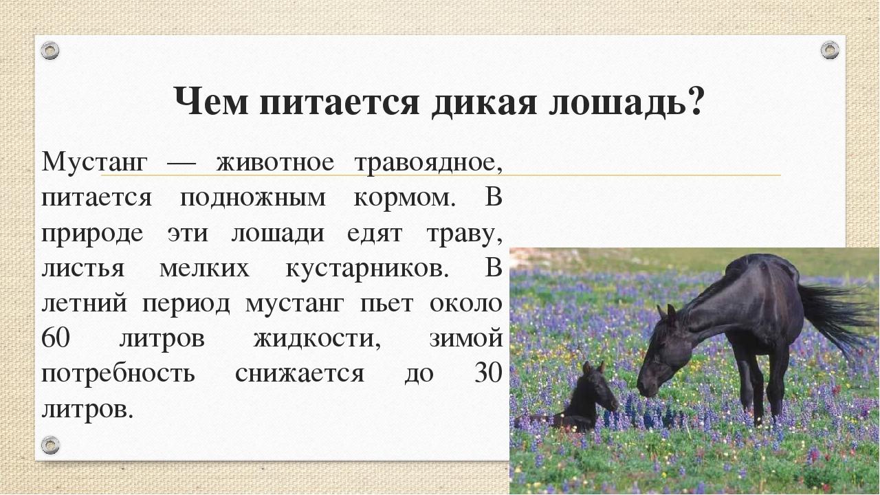 Чем питается дикая лошадь? Мустанг — животное травоядное, питается подножным...