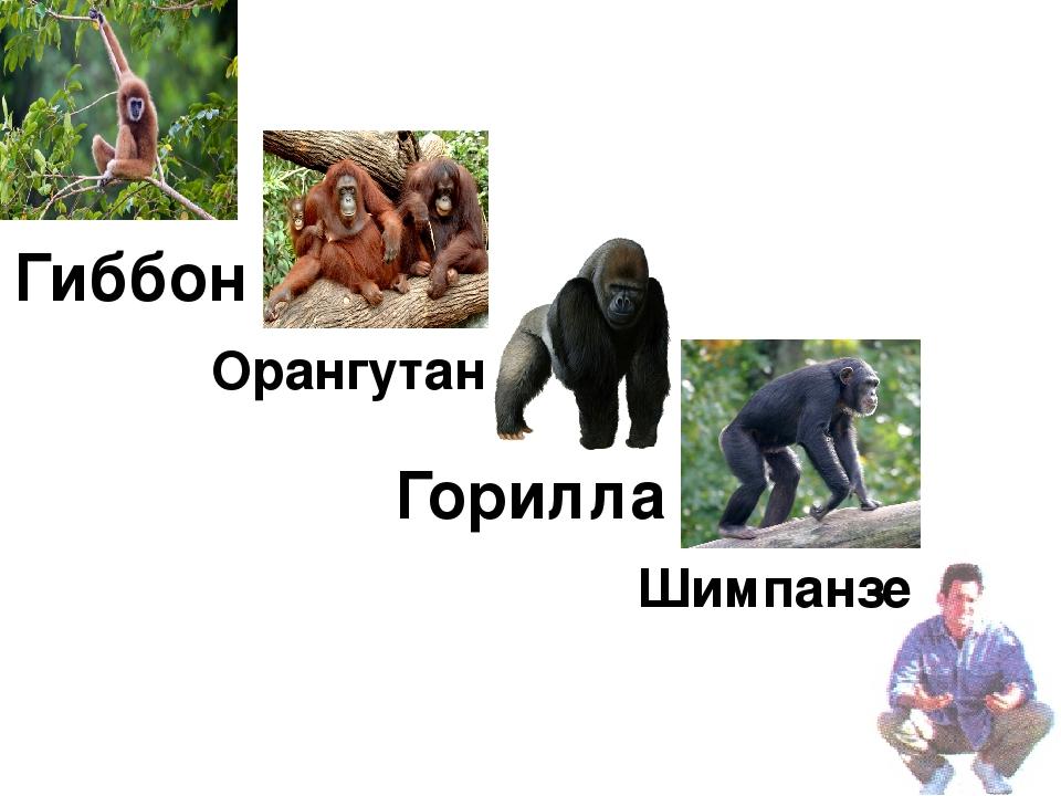 Горилла Шимпанзе Орангутан Гиббон
