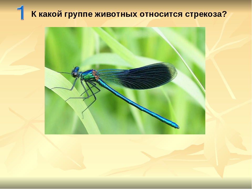 К какой группе животных относится стрекоза?