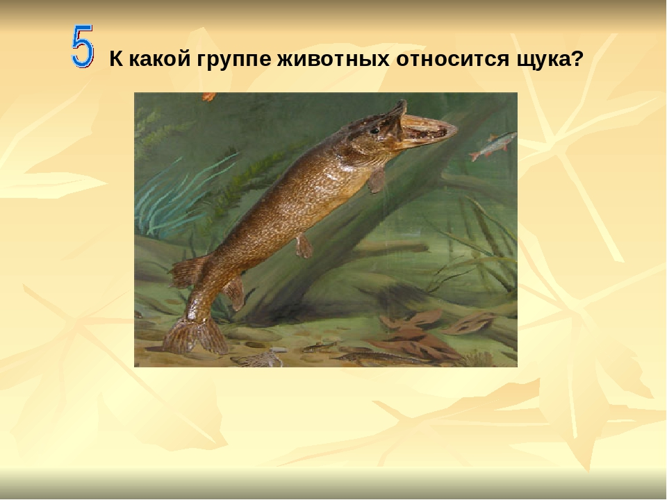 К какой группе животных относится щука?