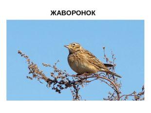 ЖАВОРОНОК