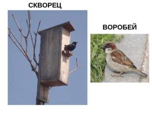 СКВОРЕЦ ВОРОБЕЙ