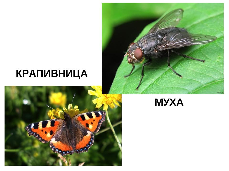 КРАПИВНИЦА МУХА