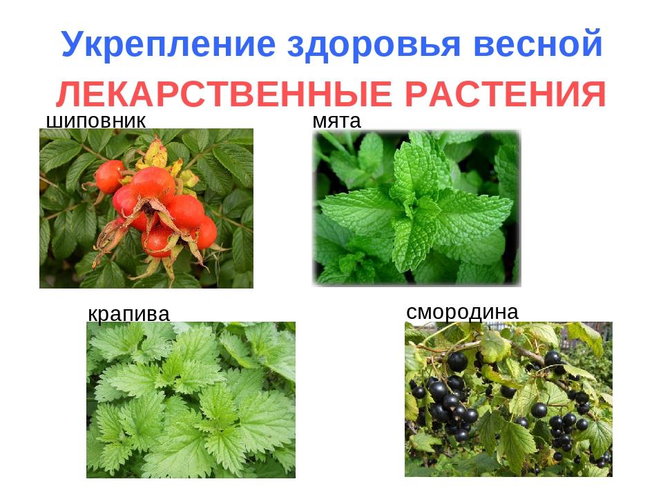 Укрепление здоровья весной ЛЕКАРСТВЕННЫЕ РАСТЕНИЯ шиповник мята крапива сморо...