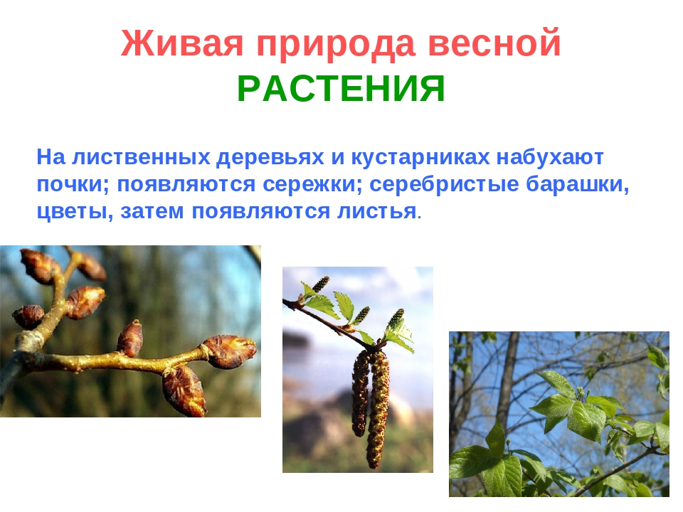 Живая природа весной РАСТЕНИЯ На лиственных деревьях и кустарниках набухают п...