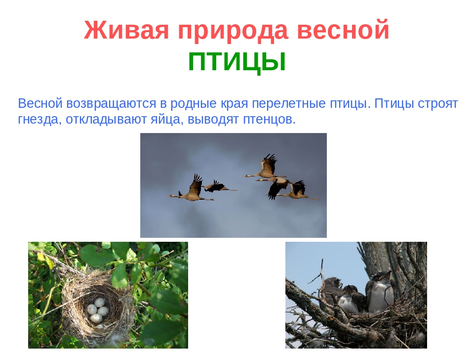 Живая природа весной ПТИЦЫ Весной возвращаются в родные края перелетные птицы...