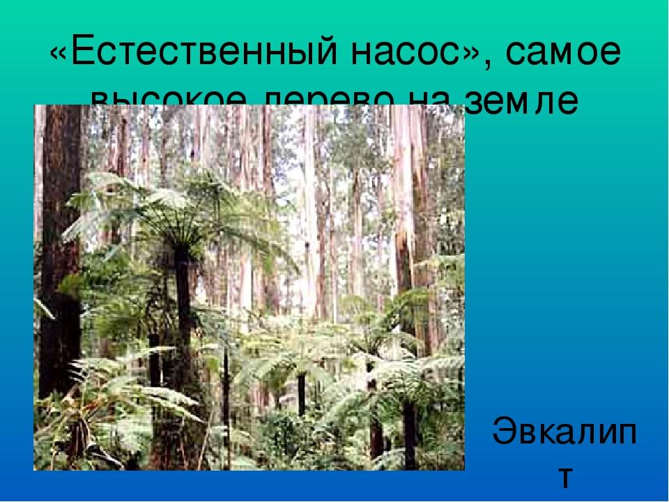 «Естественный насос», самое высокое дерево на земле Эвкалипт