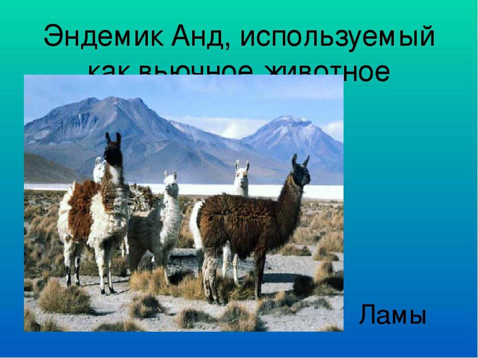 Эндемик Анд, используемый как вьючное животное Ламы