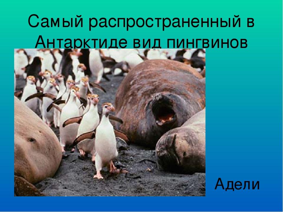 Самый распространенный в Антарктиде вид пингвинов Адели