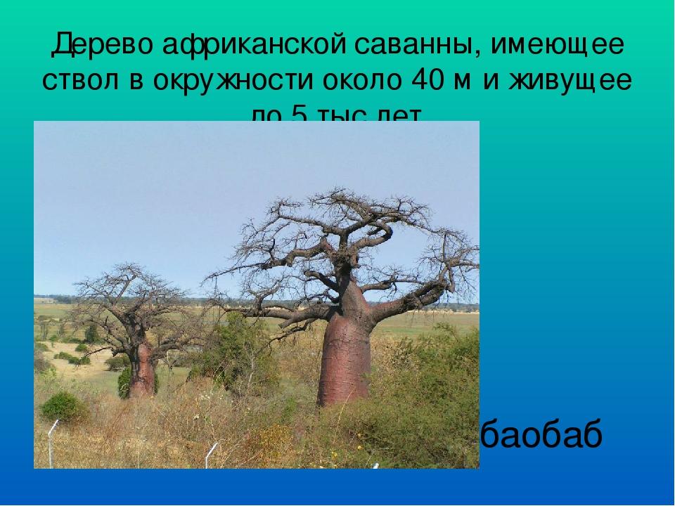 Дерево африканской саванны, имеющее ствол в окружности около 40 м и живущее д...