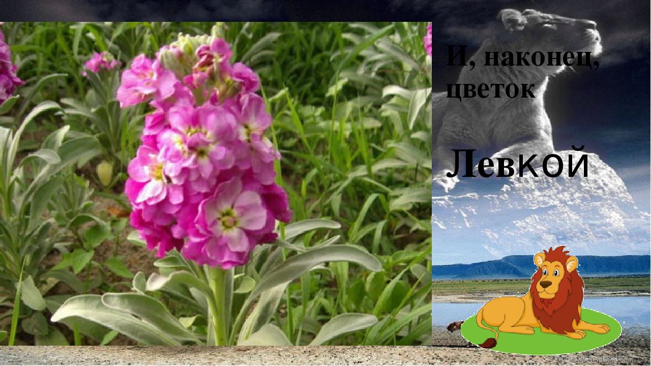 И, наконец, цветок Левкой