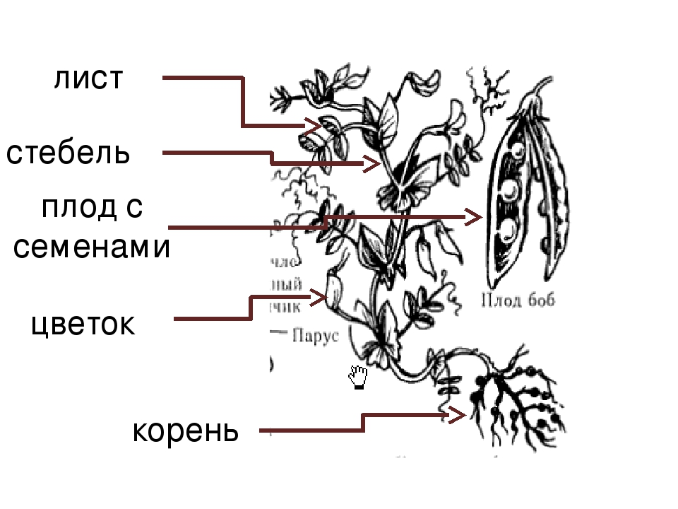Части растений гороха картинки