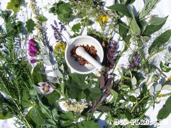 пробовал лекарстеенные растения из приморья впервые увидев