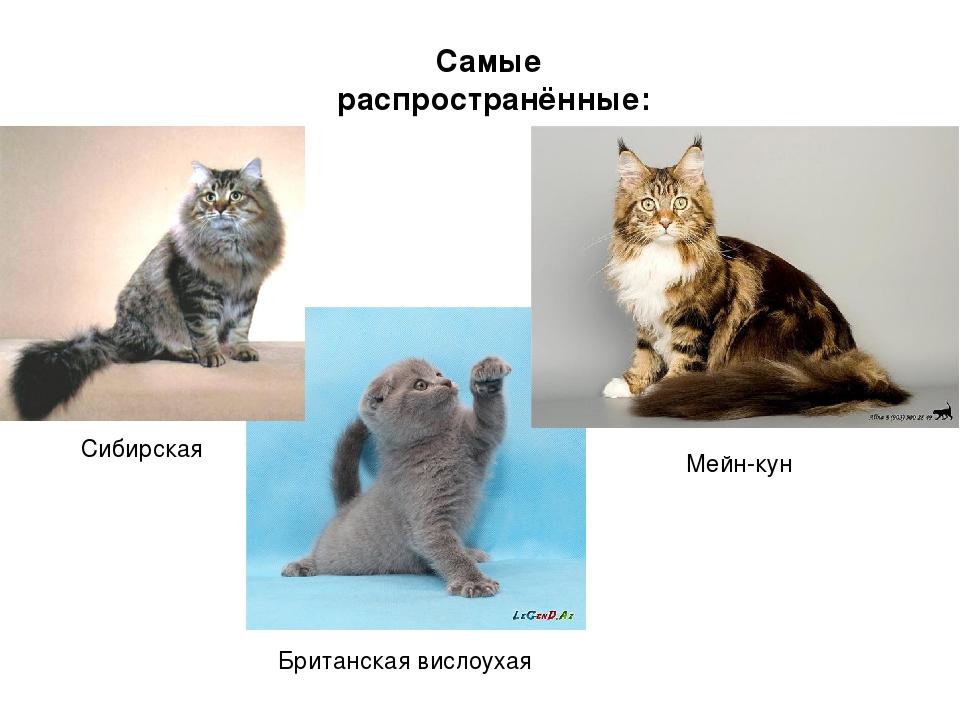 Самые распространённые: Сибирская Мейн-кун Британская вислоухая