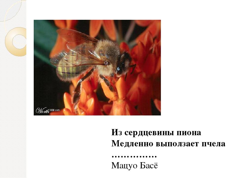 Из сердцевины пиона Медленно выползает пчела ……………  Мацуо Басё