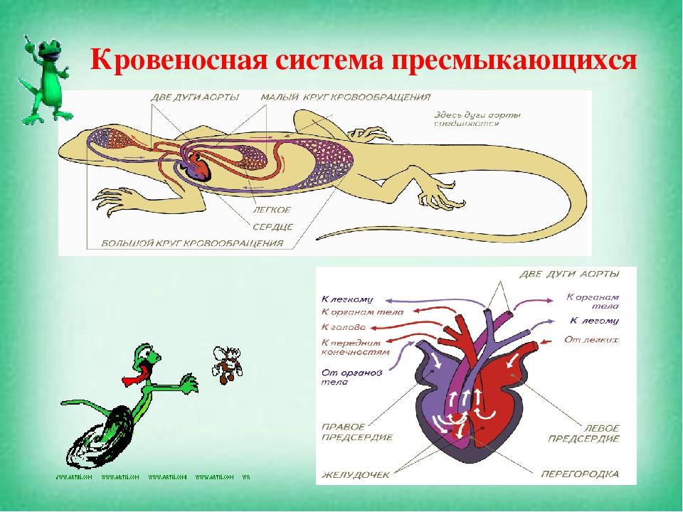 Опорно-двигательная система кровеносная пресмыкающихся
