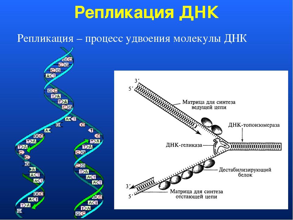 картинки молекулы днк и репликации днк каждый раз, это