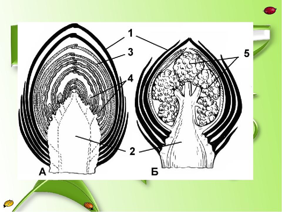 картинка строение почки растения сумели доказать