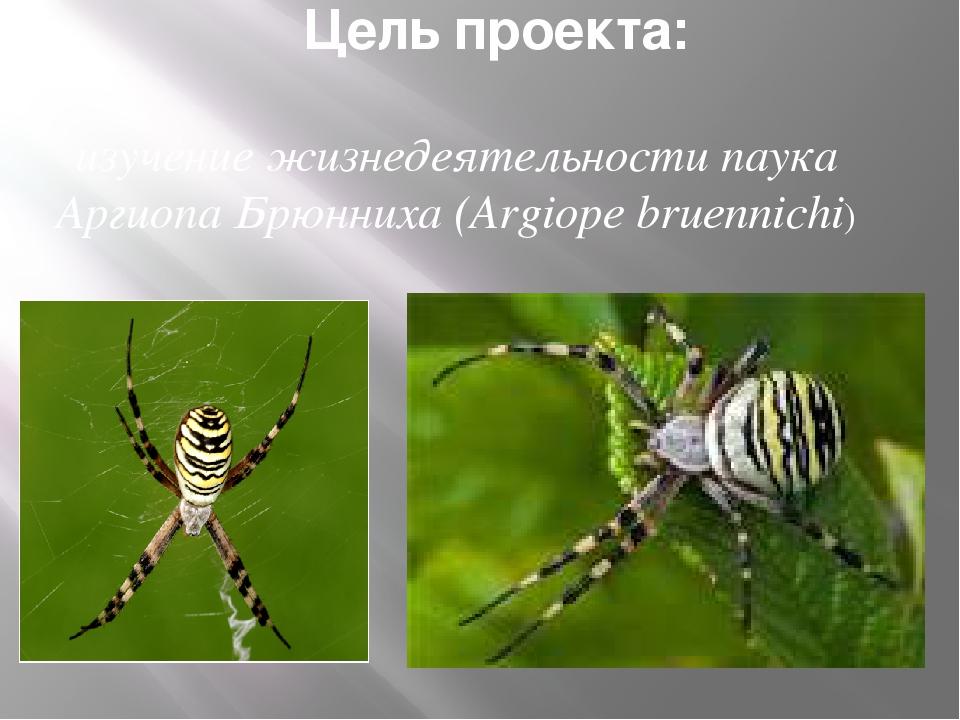 Цель проекта: изучение жизнедеятельности паука Аргиопа Брюнниха (Argiope brue...