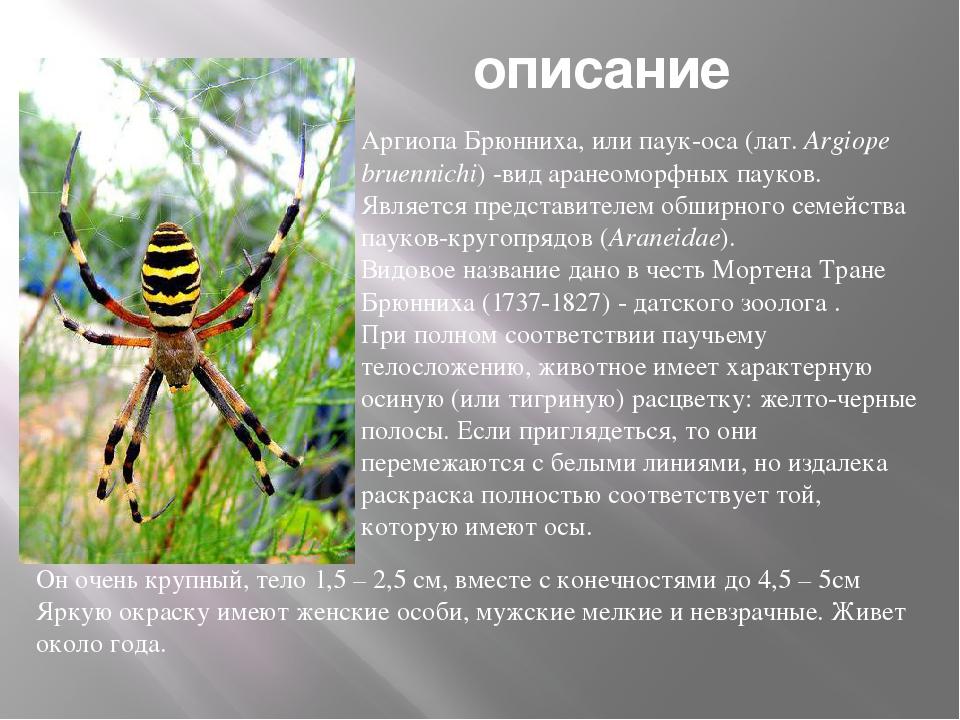 описание Аргиопа Брюнниха, илипаук-оса(лат.Argiope bruennichi)-видаране...