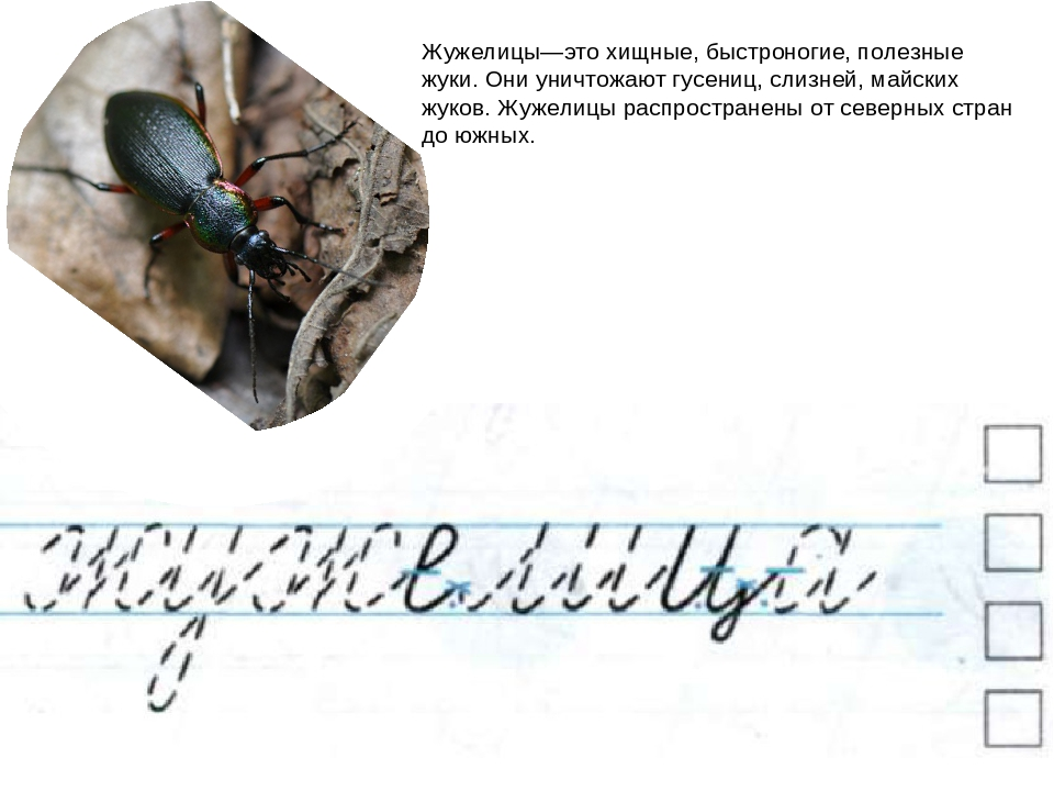 Жужелицы—это хищные, быстроногие, полезные жуки. Они уничтожают гусениц, слиз...