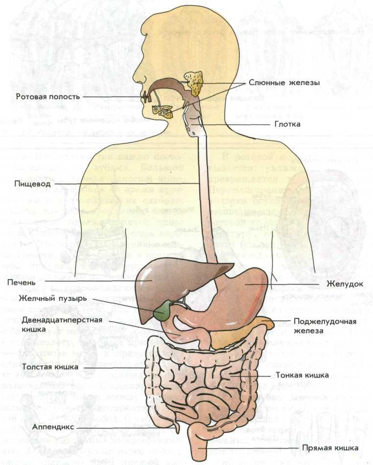Пищеварительная система в картинках с надписями