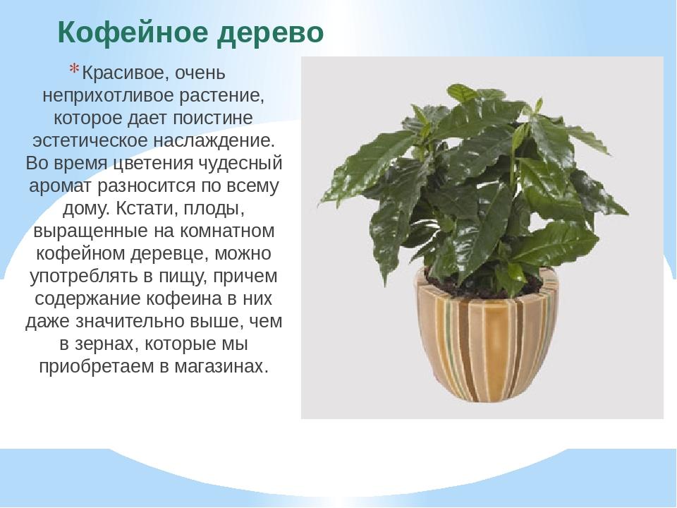 Кофейное дерево Красивое, очень неприхотливое растение, которое дает поистине...