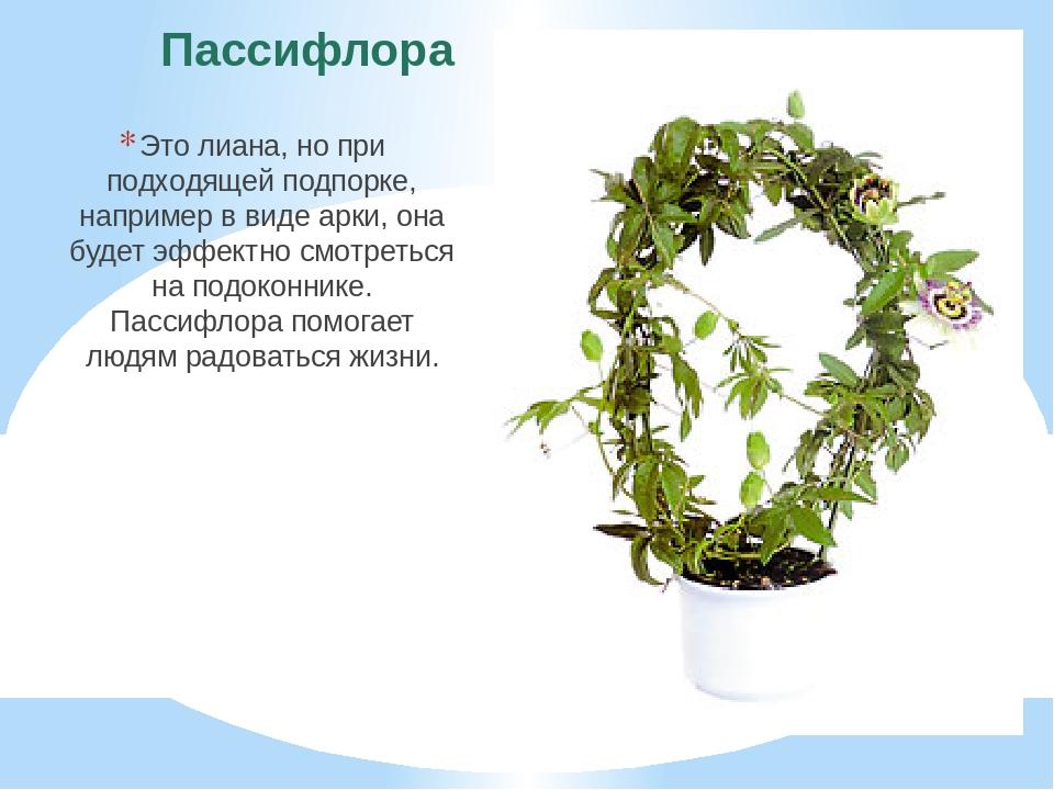 Пассифлора Это лиана, но при подходящей подпорке, например в виде арки, она б...
