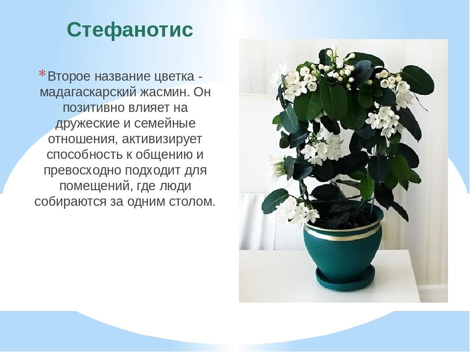 Стефанотис Второе название цветка - мадагаскарский жасмин. Он позитивно влияе...