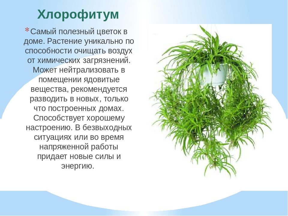 Хлорофитум Самый полезный цветок в доме. Растение уникально по способности оч...