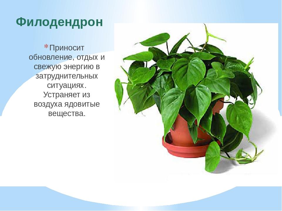 Филодендрон Приносит обновление, отдых и свежую энергию в затруднительных сит...