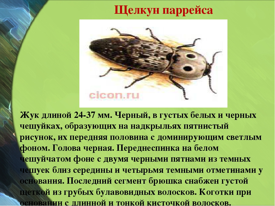 Щелкун паррейса Жук длиной 24-37 мм. Черный, в густых белых и черных чешуйках...