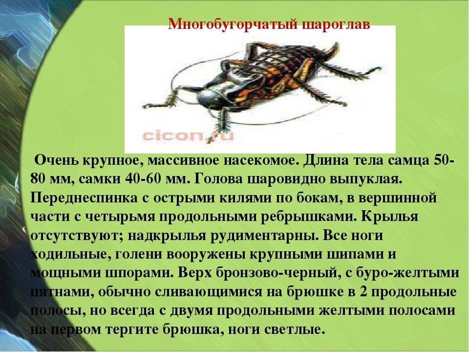 Очень крупное, массивное насекомое. Длина тела самца 50-80 мм, самки 40-60 м...