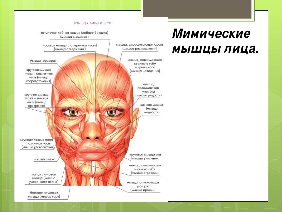Мимические мышцы лица.
