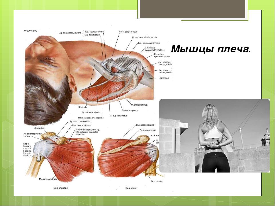 Мышцы плеча.