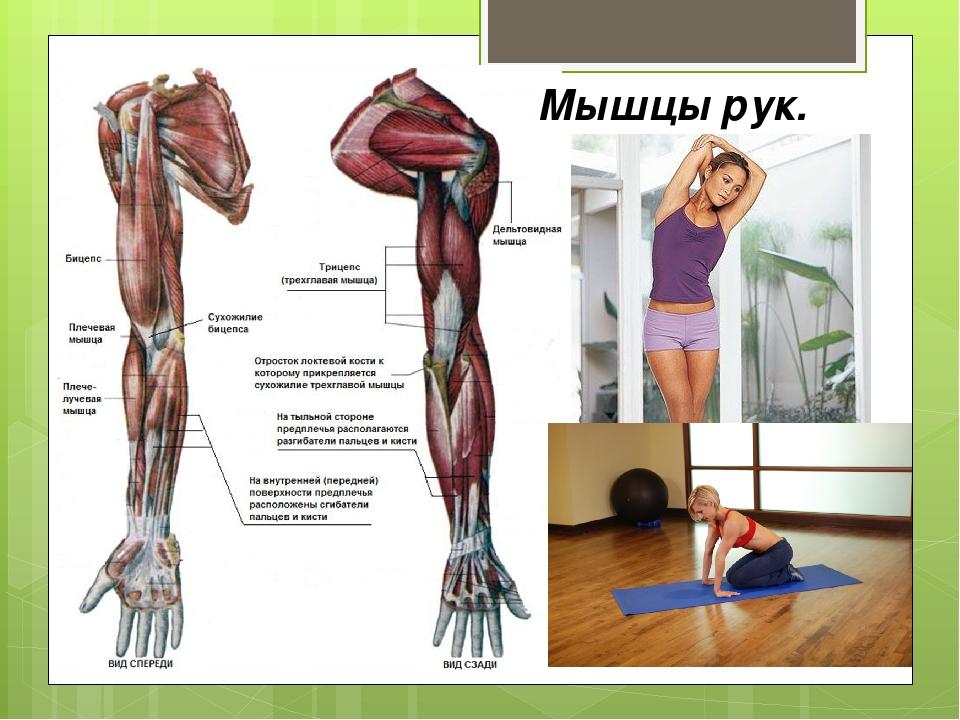 Мышцы рук.