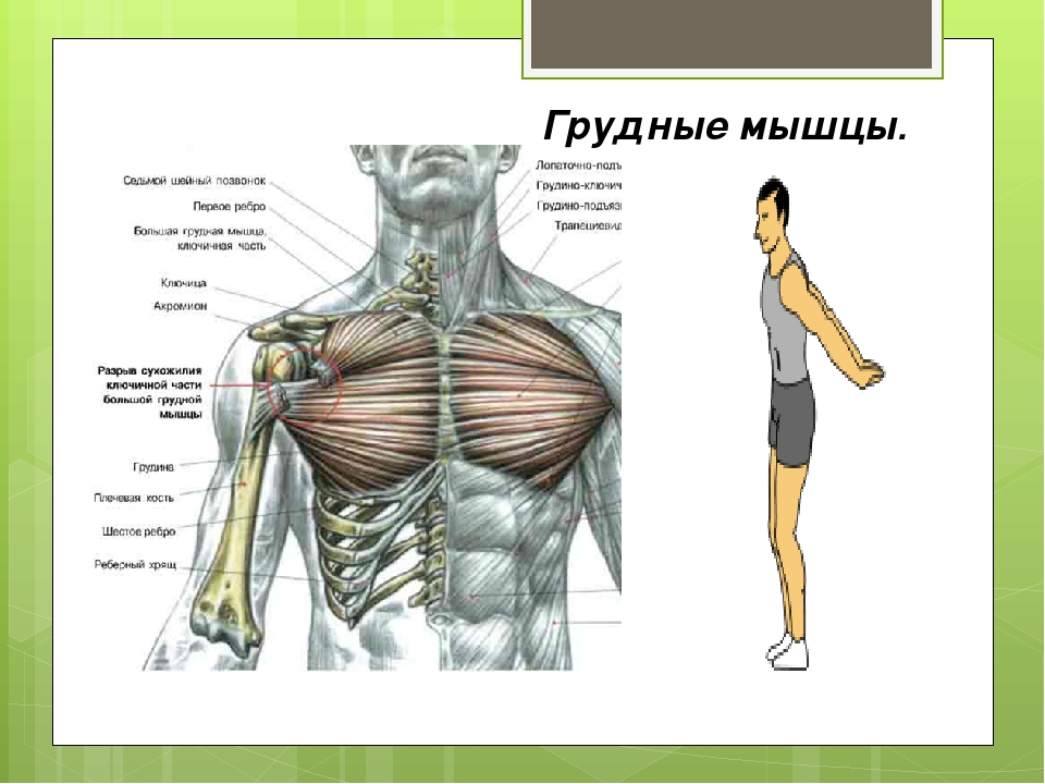 Грудные мышцы.
