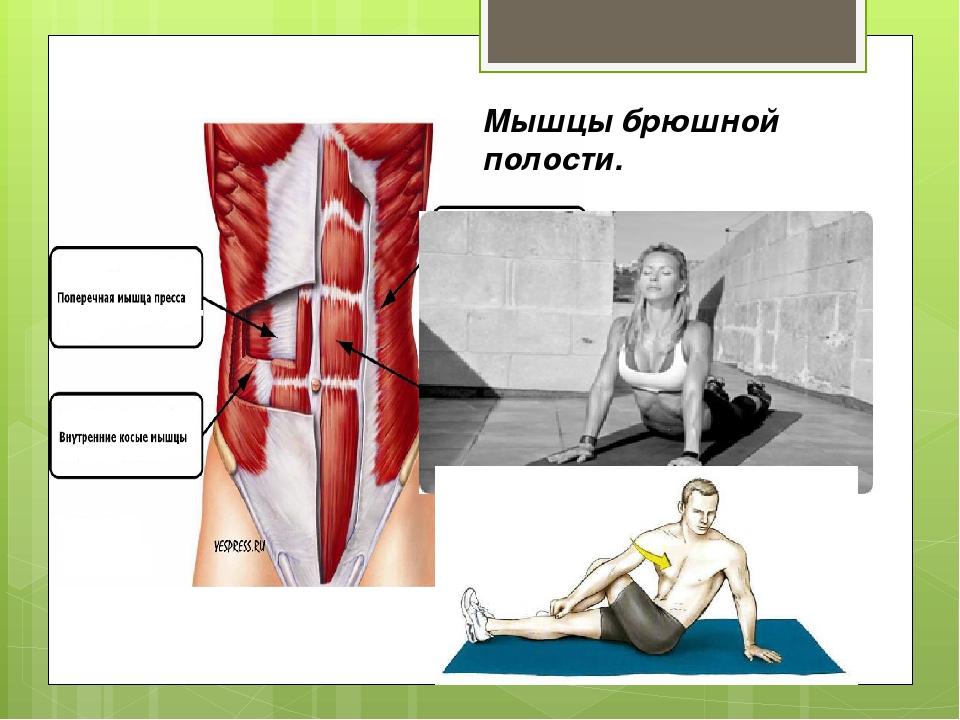 Мышцы брюшной полости.