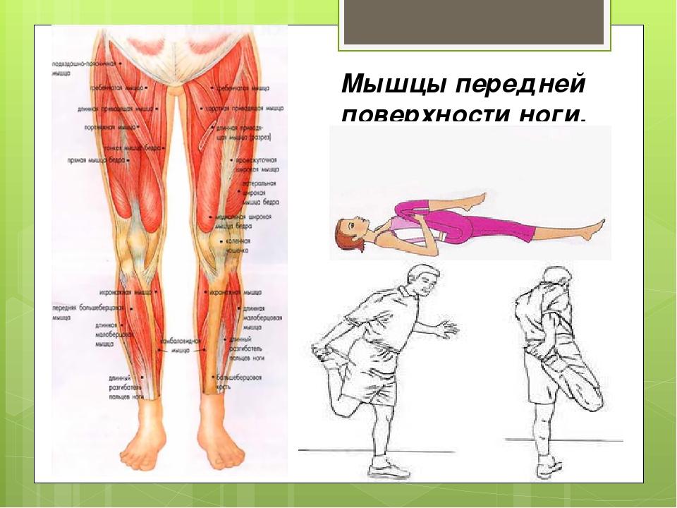 Мышцы передней поверхности ноги.