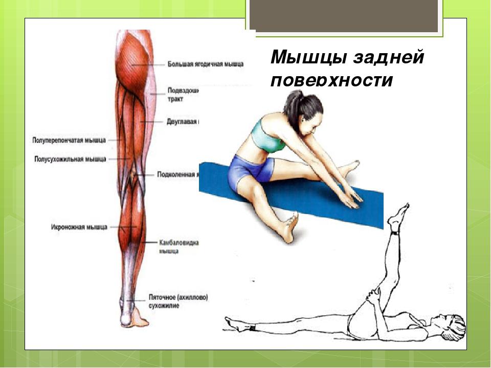 Мышцы задней поверхности ноги.