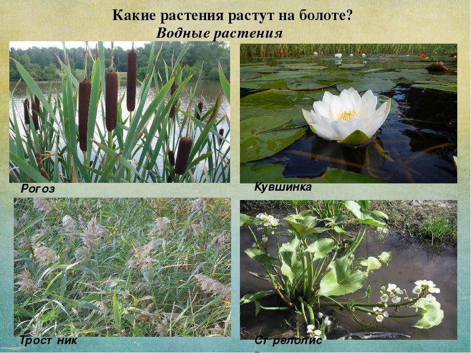 Растения болотные название и картинки