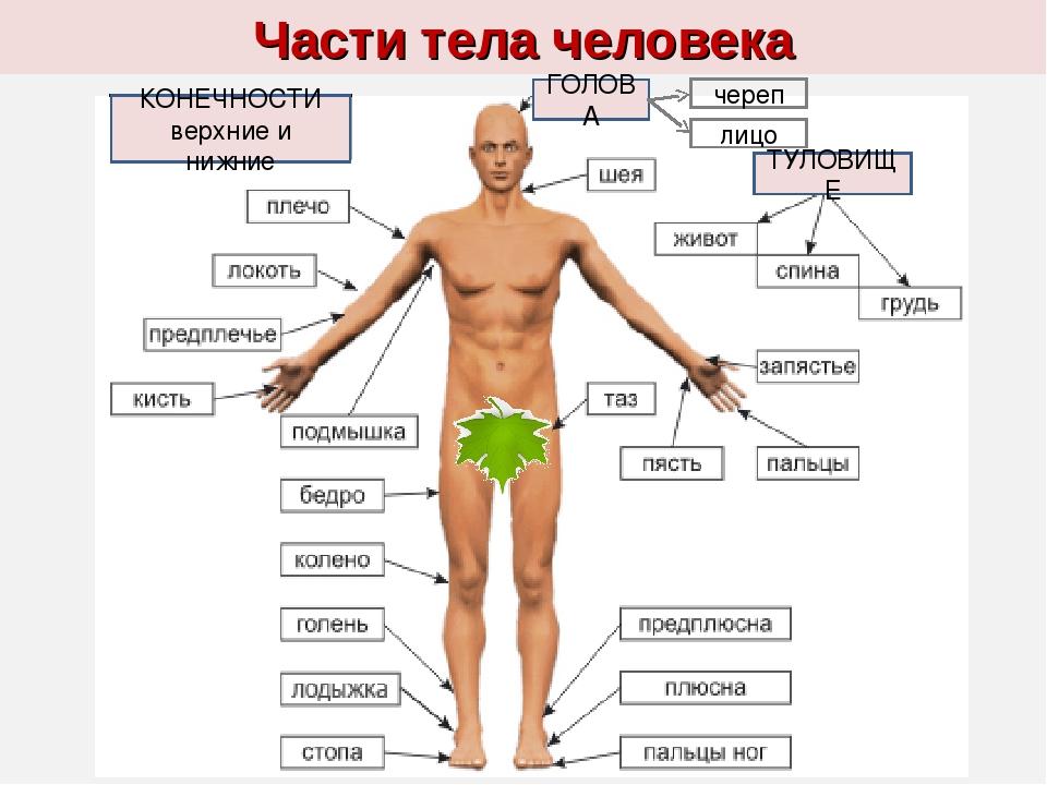 Анатомия человека картинки части тела