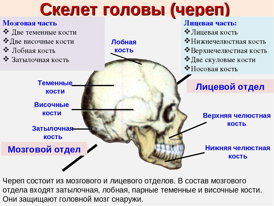 строение черепа человека фото с описанием быстро